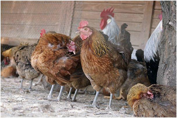 Ilustracja do informacji: Ważne!!! Informacja dla hodowców drobiu
